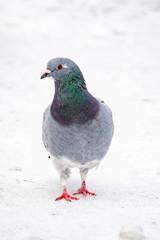 Fototapeta gołąb na śniegu obraz