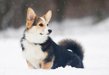 welsh corgi pembroke puppy in the snow