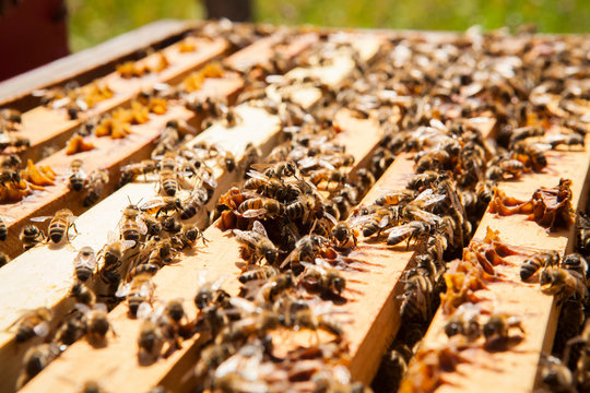 Close up of honey bees on beehive
