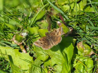 Dingy Skipper Butterfly ( Erynnis tages )