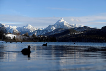 Ducks swim on lake Weissensee in front of the Alps in Fuessen