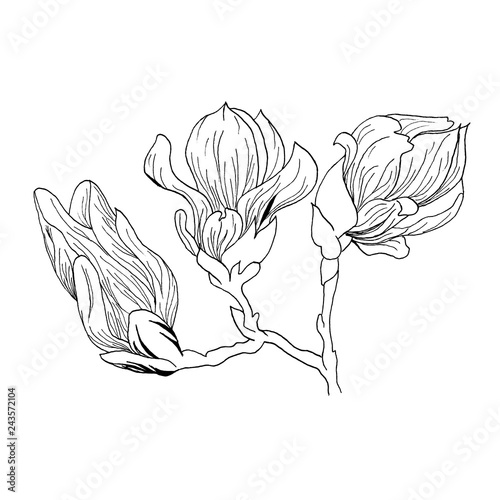 Magnolia Flowers Drawing And Sketch With Line Art On White