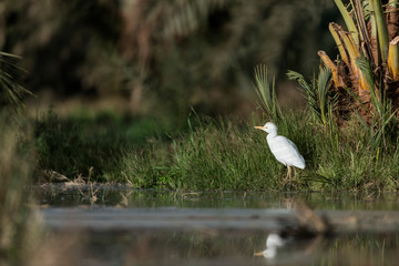 Foto auf AluDibond Natur Cattle egret in the Oasis of Bahariya