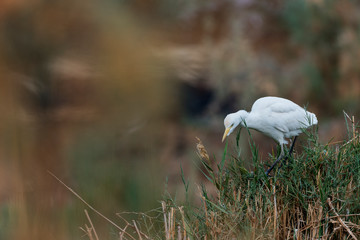Cattle egret in the Oasis of Bahariya