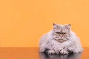 Photo of a gray fluffy cat lies on a orange background and is focused on looking at the camera. Сlose-up fluffy cat posing on a camera in a studio on a orange background, isolated. Copyspace. Pet