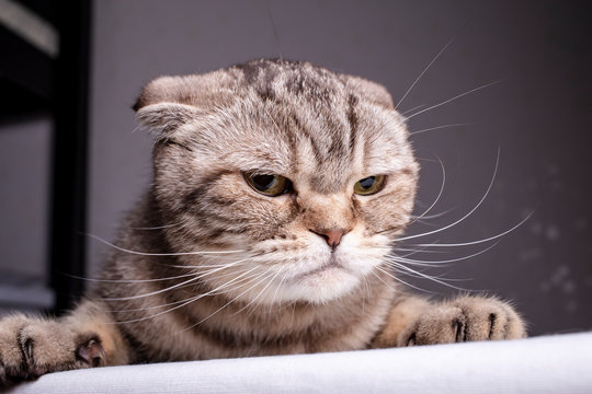 Thoroughbred dissatisfied cat Scottish Fold is on the table and evil looks. Close-up.