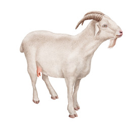 chèvre laitière, amour, coeur, ferme,, mammifère, blanc, mamelle,  isolé, joli, fromage, exploitation laitière   , gazon, jeune, bétail, fond blanc, animal de compagnie, domestique, nature, brun, deb