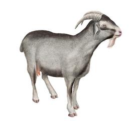chèvre laitière, amour, coeur, ferme,, mammifère, gris, mamelle,  isolé, joli, fromage, exploitation laitière   , gazon, jeune, bétail, fond blanc, animal de compagnie, domestique, nature, brun, debo