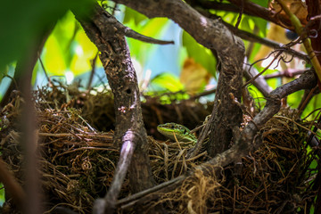 Lizard in a bird's nest
