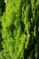 Japanese cypress (Hinoki leaf)