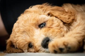 Australian labradoodle puppy laying down tired