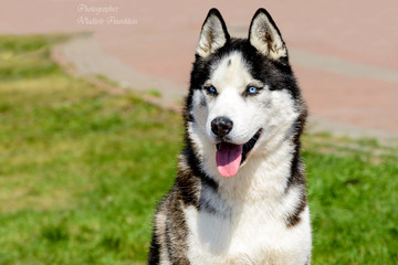 Yakutian Laika portrait in full face. The Yakutian Laika is in the park.