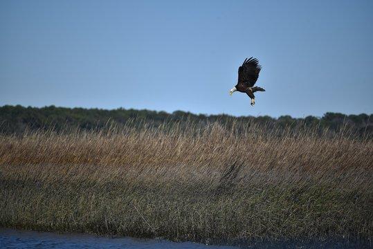 American bald eagle in flight over the wetlands of Hilton Head Island in South Carolina