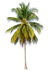 The tree is completely separated from the white ba background Scientific name  Coconut