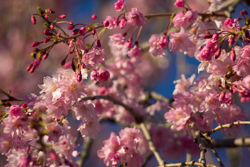 Weeping Cherry Tree Flowers, Ohio