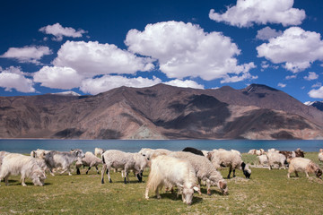 Herd of goats grazing on the meadow near the highland lake Pangong Tso in Ladakh