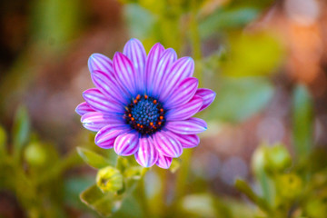 Bright purple and blue flower blooming isolated in a garden