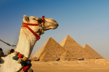 camel in the desert  with pyramids of giza,cairo,egypt in background