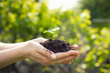 young plant in hands, the