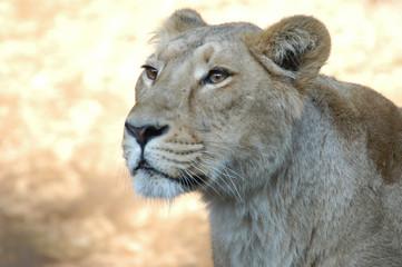Gazing Lion - 見つめるライオン