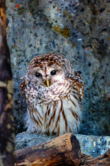 Tawny Owl Resting on a Tree Log in the Forest