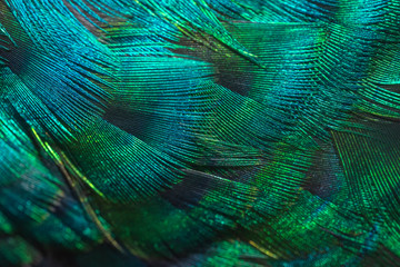 Closeup peacock feathers