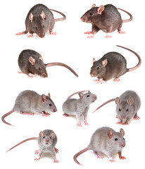 grey rat collection
