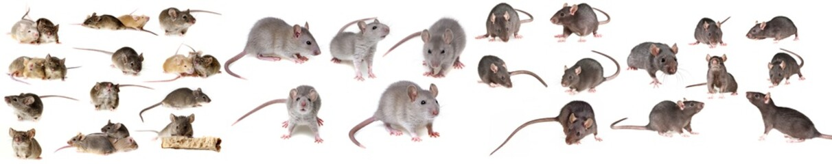 brown rat isolated on a white background - collection Fototapete