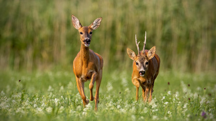 Roe deer, capreolus capreolus, buck and doe during rutting season. Male wild deer chasing female in mating season. Pair of two mammals in love.