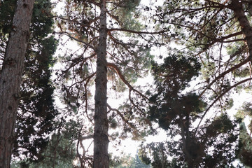 Bottom view of tall trees. pine trees from the bottom up