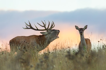 Red deer, cervus elaphus, couple during rutting season. Roaring wild stag at sunset. Wildlife scenery on a horizon with orange color in background. Wall mural