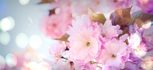 Frühling - Japanischer Kirschblüte - Hintergrund Panorama mit Bokeh