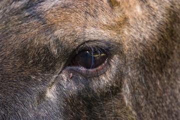 Spoed Fotobehang Wolf Europäischer Elch das Auge
