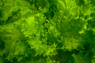 Fresh and crispy lettuce leaf close-up picture