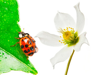 ladybird on a leaf and white flower - macro photo