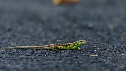 Lizard on the asphalt