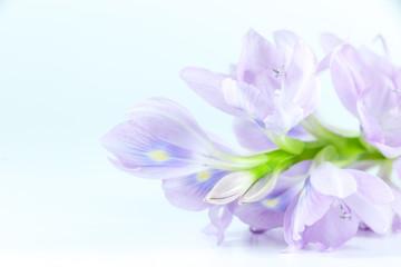 Water Hyacinth Close up