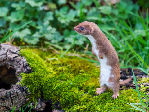 Weasel or Least weasel (mustela nivalis