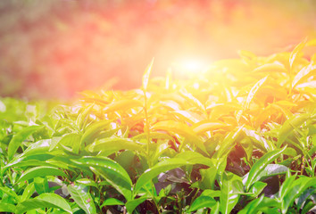 Spring sunset Plantation Fields of Ceylon tea
