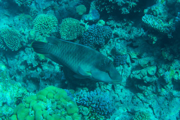 Napoleon Fish swimming at the Great Barrier Reef in sea