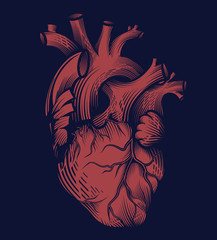 Human heart in engraving technique in red color on dark blue background. Anatomically correct hand drawn line art. Tattoo, tee shirt print design. Vector illustration.