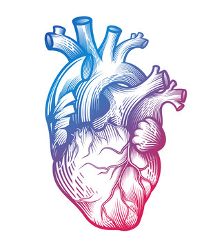 Human heart in engraving technique with blurple gradient color. Anatomically correct hand drawn line art isolated on white. Tattoo, tee shirt print design. Vector illustration.