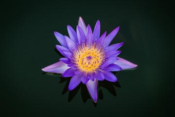 Purple Lotus flower on black background