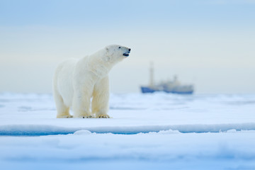 Deurstickers Ijsbeer Bear and boat. Polar bear on drifting ice with snow, blurred cruise vessel in background, Svalbard, Norway. Wildlife scene in the nature. Cold winter with vessel. Arctic wild animals in snow and ship.