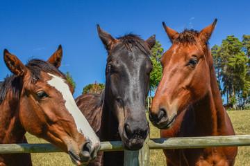 Três cavalos junto à cerca