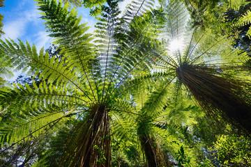 Tree ferns in temperate rainforest, West Coast, South Island New Zealand, New Zealand