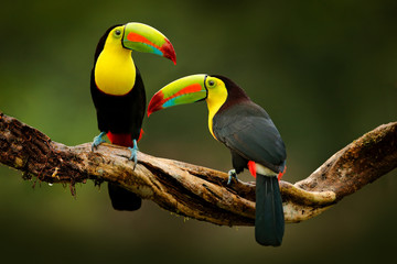 Printed kitchen splashbacks Bird Toucan sitting on the branch in the forest, green vegetation, Costa Rica. Nature travel in central America. Two Keel-billed Toucan, Ramphastos sulfuratus, pair of bird with big bill. Wildlife.