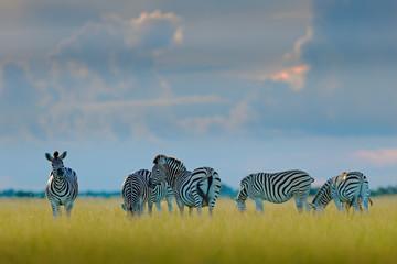 Fotomurales - Group of zebras. Burchell's zebra, Equus quagga burchellii, Moremi, Okavango delta, Botswana, Africa. Wild animal on the green meadow. Wildlife nature. Zebras herd with blue storm sky and white clouds