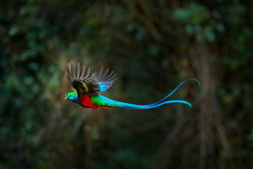 Printed roller blinds Bird Flying Resplendent Quetzal, Pharomachrus mocinno, Costa Rica, with green forest in background. Magnificent sacred green and red bird. Action flight moment with Quetzal, beautiful exotic tropic bird.