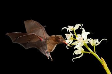 Orange nectar bat, Lonchophylla robusta, flying bat in dark night. Nocturnal animal in flight with white orchid flower. Wildlife action scene from tropic nature, Costa Rica.